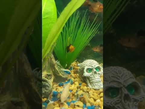 Platy fish stressed or sick?!