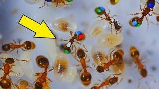 Что если покрасить муравьев и проследить за ними? Муравьи ленивые! Разноцветные муравьи.