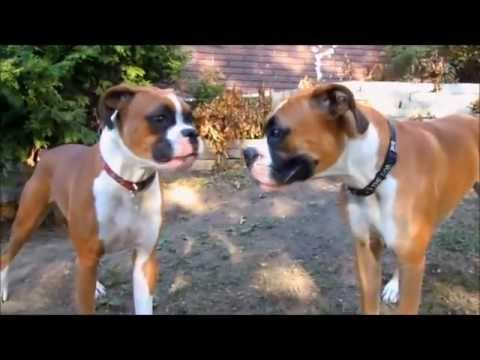 My Crazy Boxer Dogs Fighting and Boxing