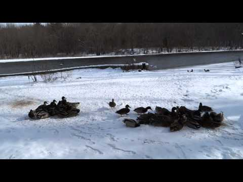 Mallard ducks in cold snow during the winter.