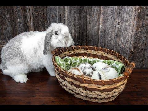 Baby Bunnies in a Basket