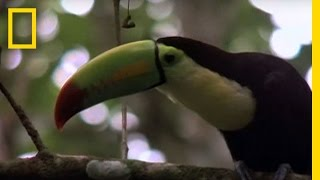 Birds of Paradise - Toucan   National Geographic