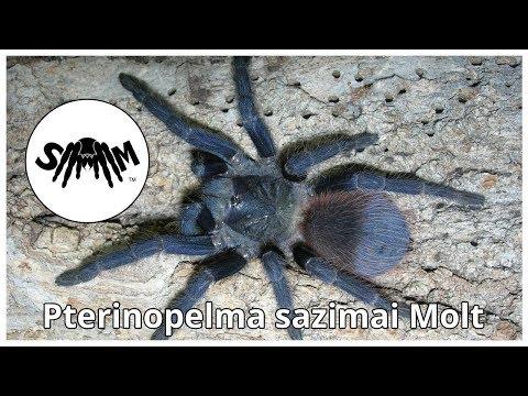 Pterinopelma sazimai (Brazilian Blue) Molt Time Lapse and Video