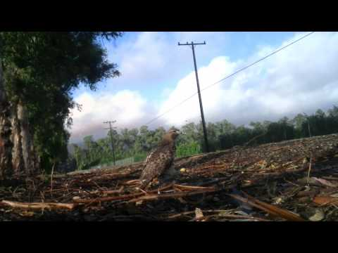 Red Tailed Hawk Trapping Falconry Bal-Chatri Trap