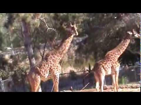 Xxx Mp4 Giraffe Porn At The Santa Barbara Zoo 3gp Sex