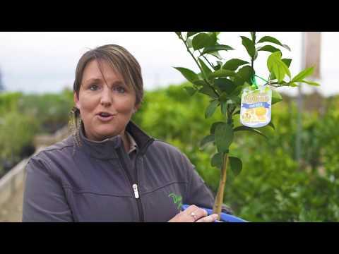 Diaco's Gardening Tips - Buying Citrus Trees