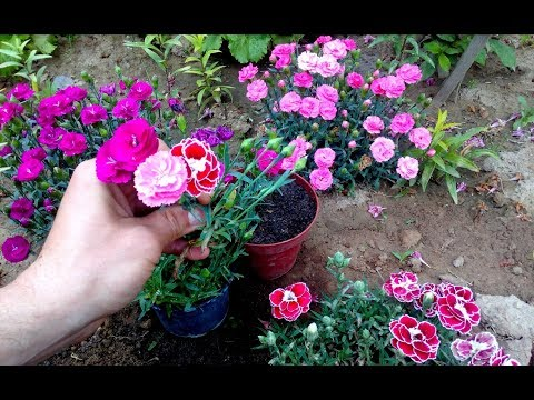 How To Grow and repot Carnations From Cuttings
