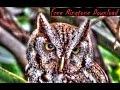 Free Haunting Screech Owl Call Ringtone