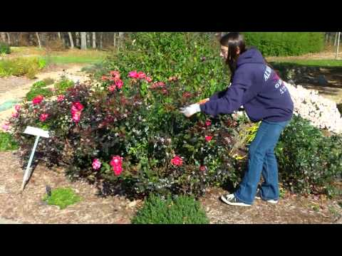 How to prune your Knockout Roses in the fall-1/1