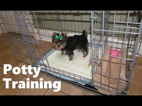 How To Potty Train A Yorkie Puppy - Yorkie House Training Tips - Housebreaking Yorkie Puppies Fast