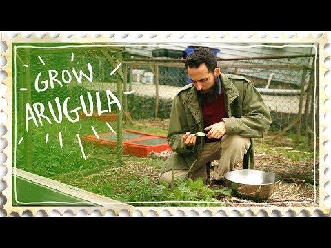 Growing Arugula Salad