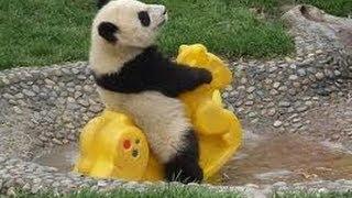 So Cute! Baby Panda Playing (1)