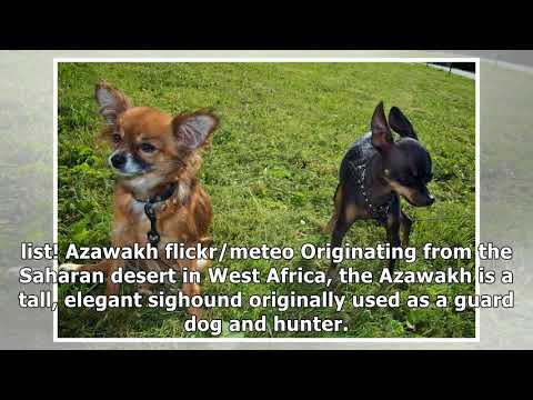 15 of the Rarest Dog Breeds in the World