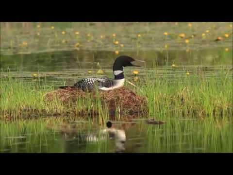 Common Loon Nesting