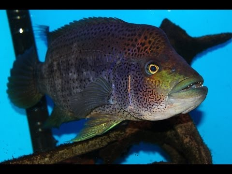 Very Aggressive Fish - The Growing Pains of keeping a Wolf Cichlid