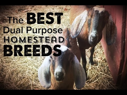 The Best Dual Purpose Dairy and Meat Goats - and Some Great Sheep Breeds TOO!