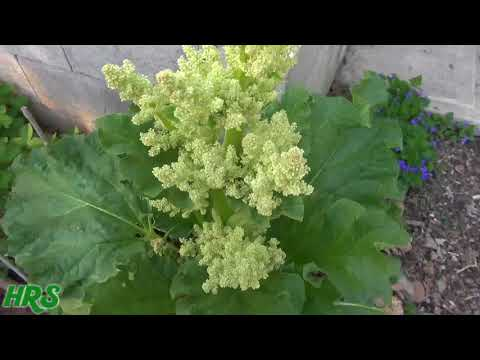 ⟹ Update on rhubarb flower, it did something unexpected
