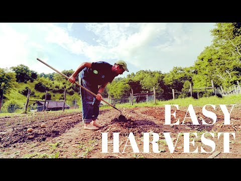 Do This For An EASY Potato Harvest
