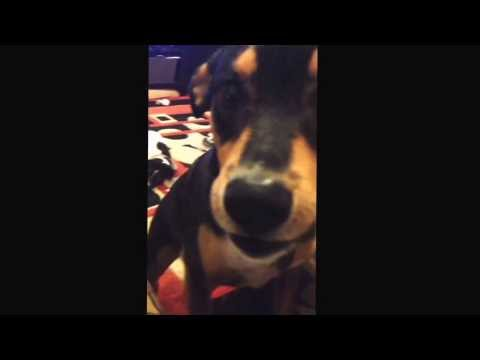 Dog argues about getting off the sofa