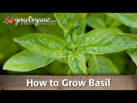 Growing Organic Basil to Use in Your Kitchen