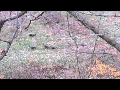Flock o turkeys