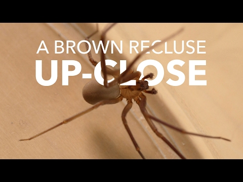 A Brown Recluse Close-Up