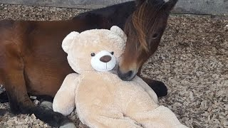 A Pony And His Beloved Teddy Bear Reunite After Being Apart For 3 Years