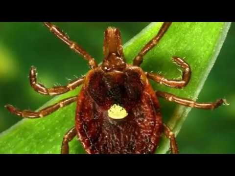 Tick Bites and Allergies