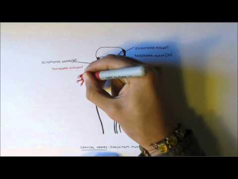 Neuroanatomy - Cranial Nerves