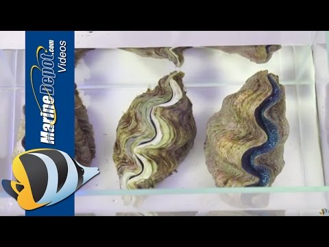 How to Care for Tridacna Clams in Your Saltwater Aquarium