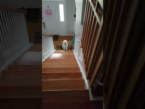 8 Month Old Goldendoodle Service Dog Following Commands on Steps