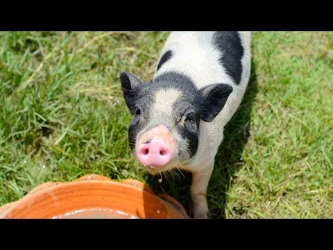 How Much Water a Potbellied Pig Needs | Pet Pigs