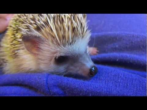 What you Need for a Hedgehog