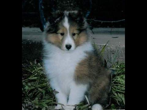 Shetland Sheepdog, Puppies, Dogs, For Sale, In Birmingham, Alabama, AL, 19Breeders, Huntsville