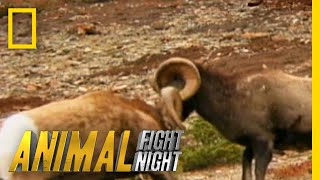 Download These Rams Go Head to Head - Literally   Animal Fight Night Video