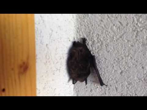 Bat live on the wall in the day time amazing and cool