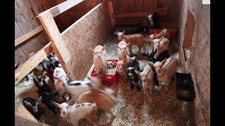 47 goat kids rush to breakfast