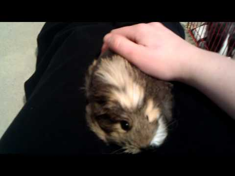 Introduction to 3 new guinea pigs
