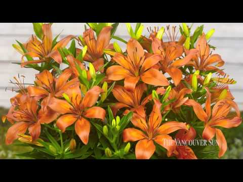 Three Muskateers Lily Planter: Nine spectacular Asiatic lilies