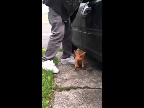 Ankle biting pitbull