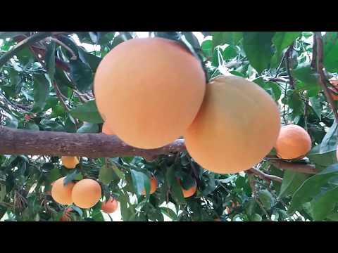 Orange Growing in europe
