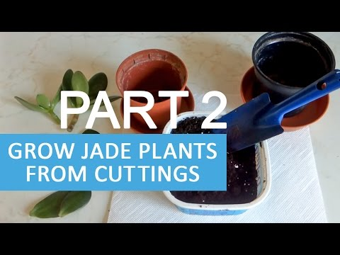 Grow Jade plants from cuttings and leaves - PART 2 | Planting jade cuttings into soil