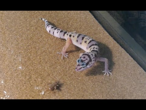 Leopard gecko feeding time! Juvenile eating crickets