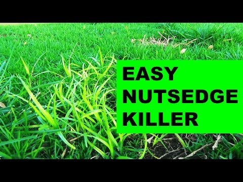 How to get rid of nutsedge in the lawn, the easy way!
