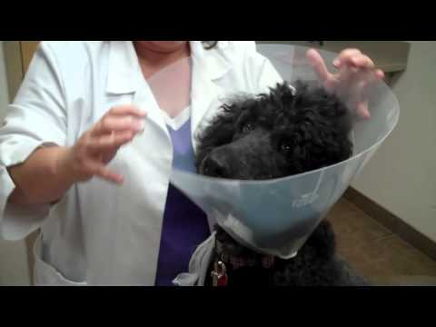 Placing an E Collar on a Dog