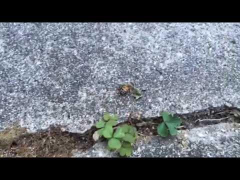 Injured honey bee