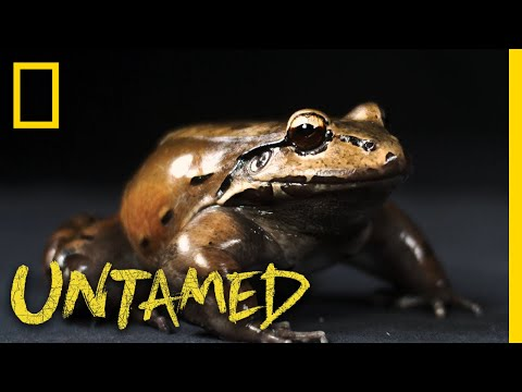 See the Frog With a Special Thumb Used While Mating | Untamed