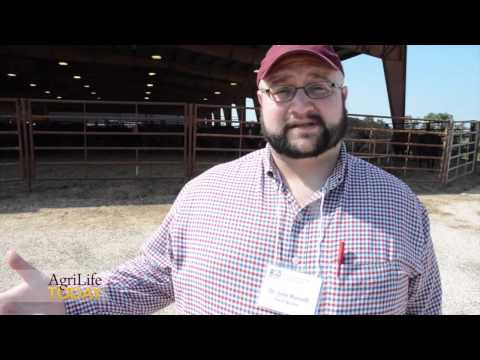 Buying Replacement Cattle