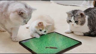 Download 【花花与三猫】专为猫做的几款游戏,猫咪玩得太疯,差点把屏幕给抠烂! Video