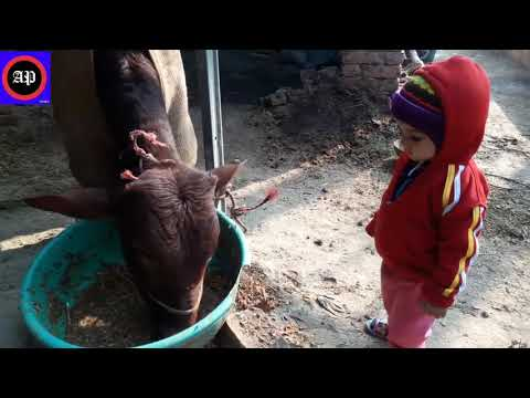 Most popular amazing videos - baby with cow most funny videos